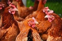 chickens_website